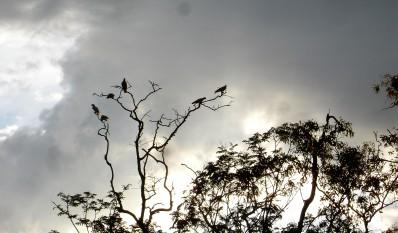 mehrere Kakadus