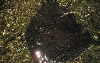riesiger Stachelrochen