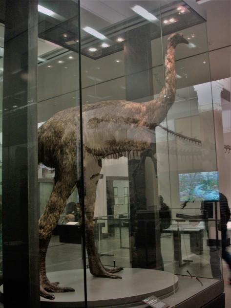 ausgestorbener 3 Meter großer Moa