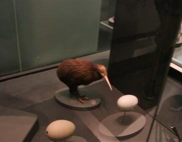 scheuer Kiwi