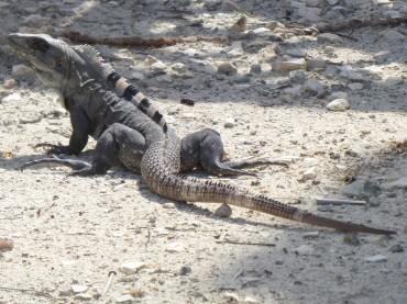 und noch ein Leguan
