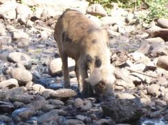 und das Hausschwein muss auch noch baden
