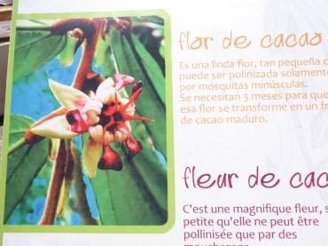 Blüte am Kakaobaum