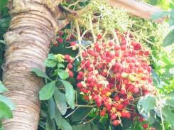 Tanager zwischen Palmfrüchten
