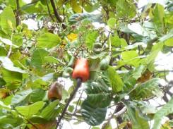 Cashewbaum