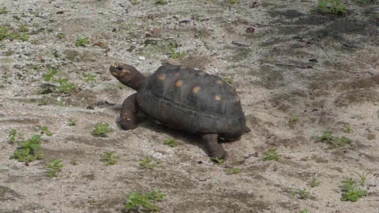 eine von hundert Schildkröten